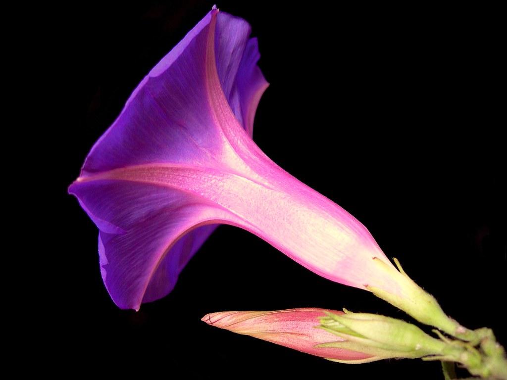 Dusk flower common name blue dawn flower oceanblue morni flickr dusk flower by js the wanderer izmirmasajfo