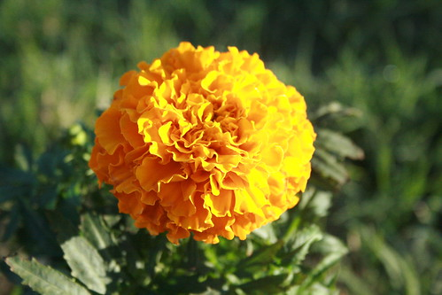 Morning marigold | by r_spin