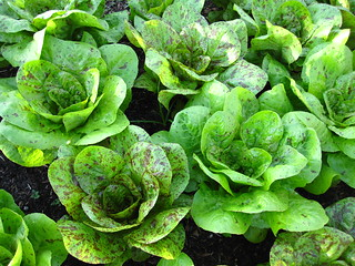 Lettuce | by Brooklyn Botanic Garden