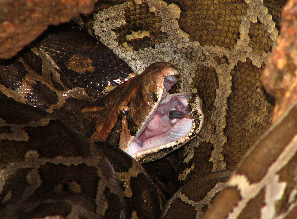 How a Python Ate a Woman Whole and Left Hardly a Trace of