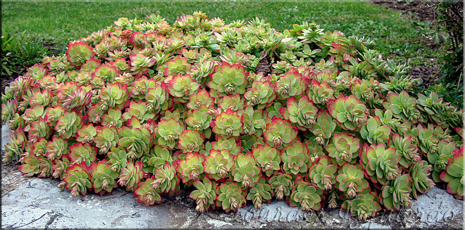 Suculentas en venta sedum palmeri for Cactaceas y suculentas