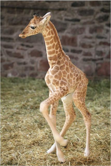 N. Laryngeus Recurrens Giraffe baby giraffe   ...