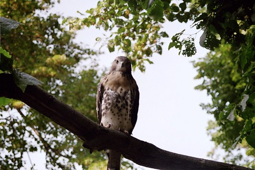 Red-Tailed Hawk, Prospect Park, Brooklyn | by Treetop Mom