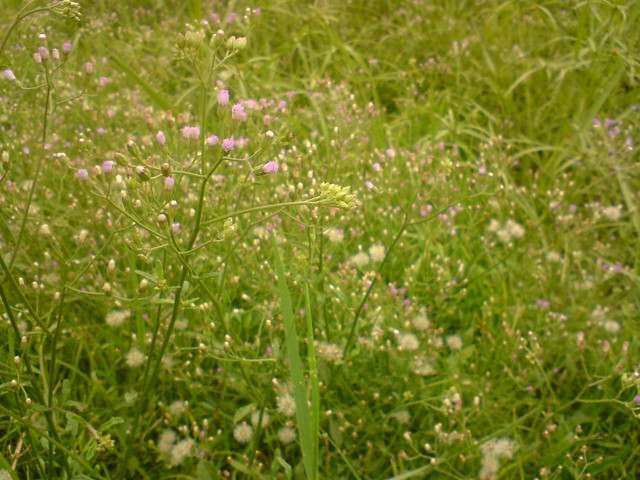 Green grass and a clump of purple weed like flowers for Grass like flowering plants