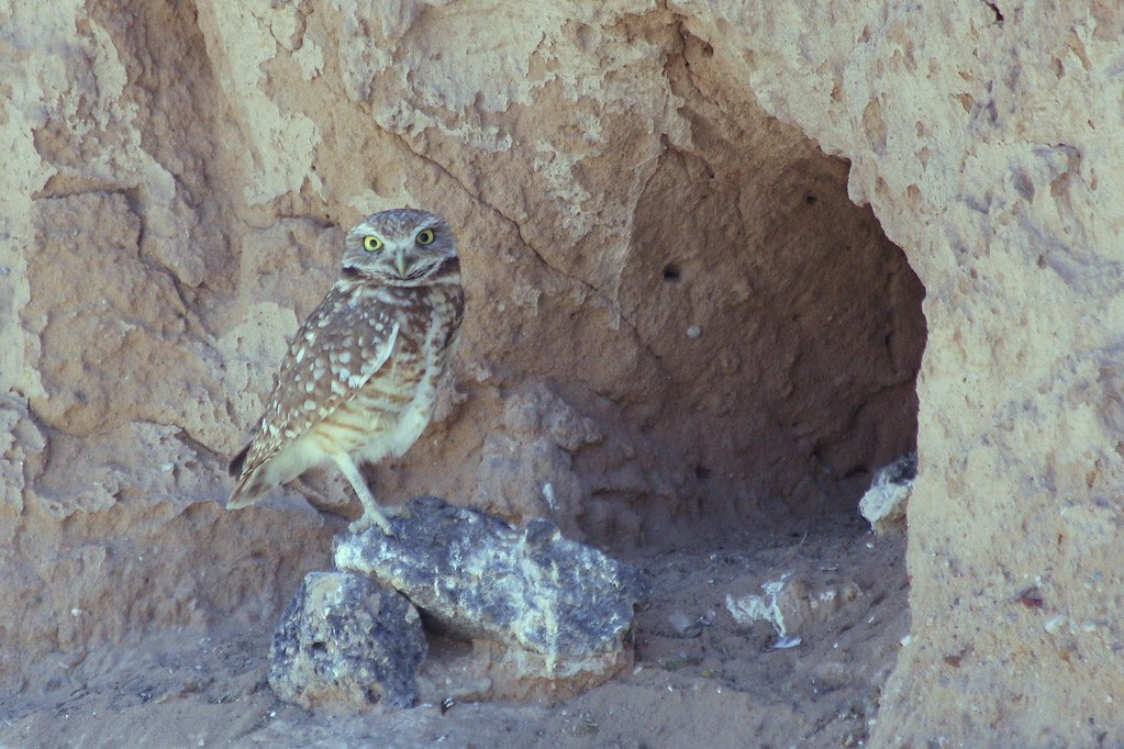 Burrowing Owl Adult At Entrance To Nest Burrow In Side