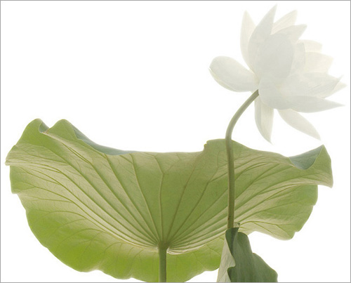Lotus Flower White Green Leaf Imgp6256 Flickr