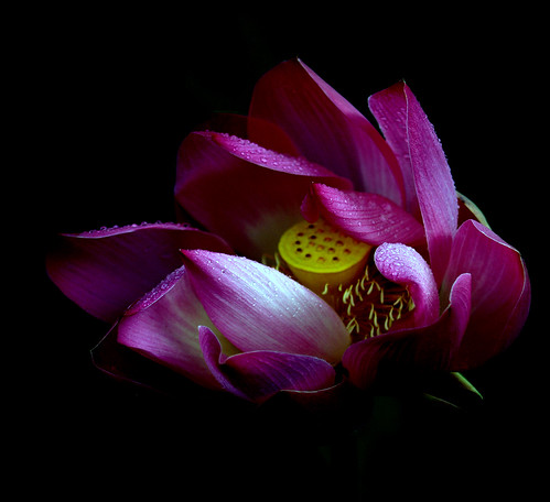 The wet lotus | by edwindejongh