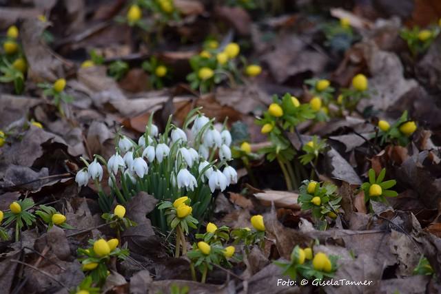 Winterlinge und andere Frühblüher im Schlosspark Ostrau