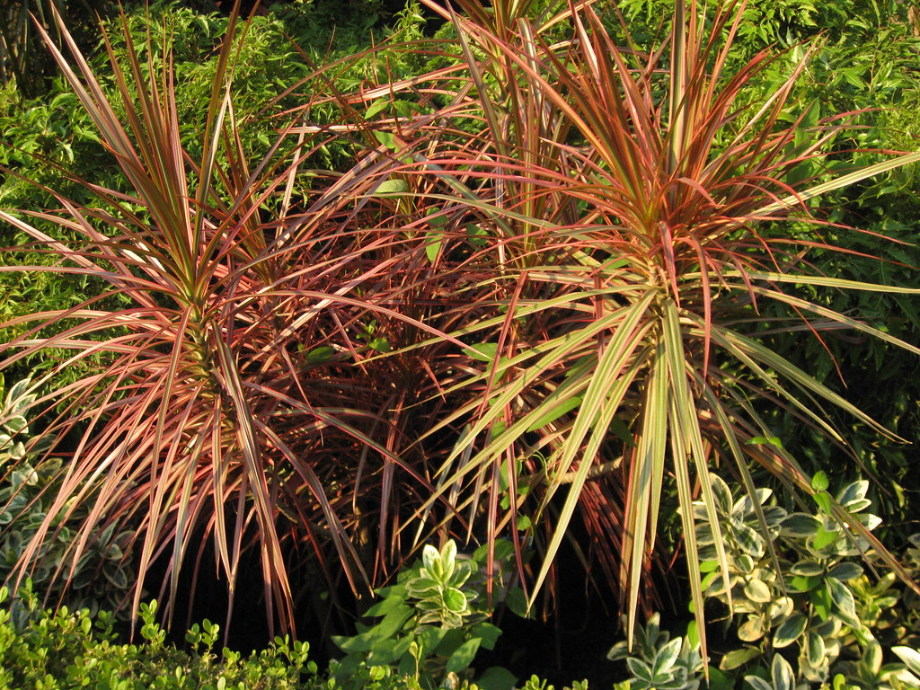 Dracaena marginata (Red-edge Dracaena, Madagascar Dragon T ...