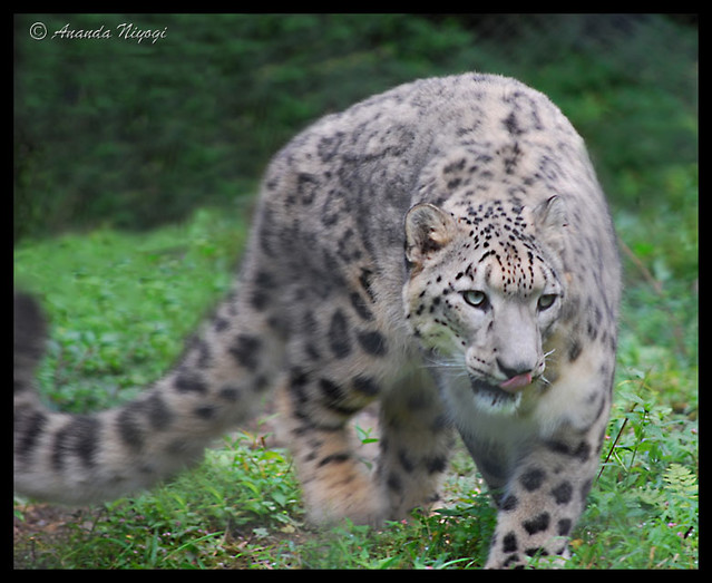 Himalayan leopard - photo#16