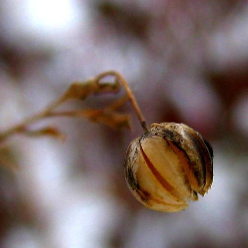 December Foliage - Flax Seed Pod | Darrel | Flickr