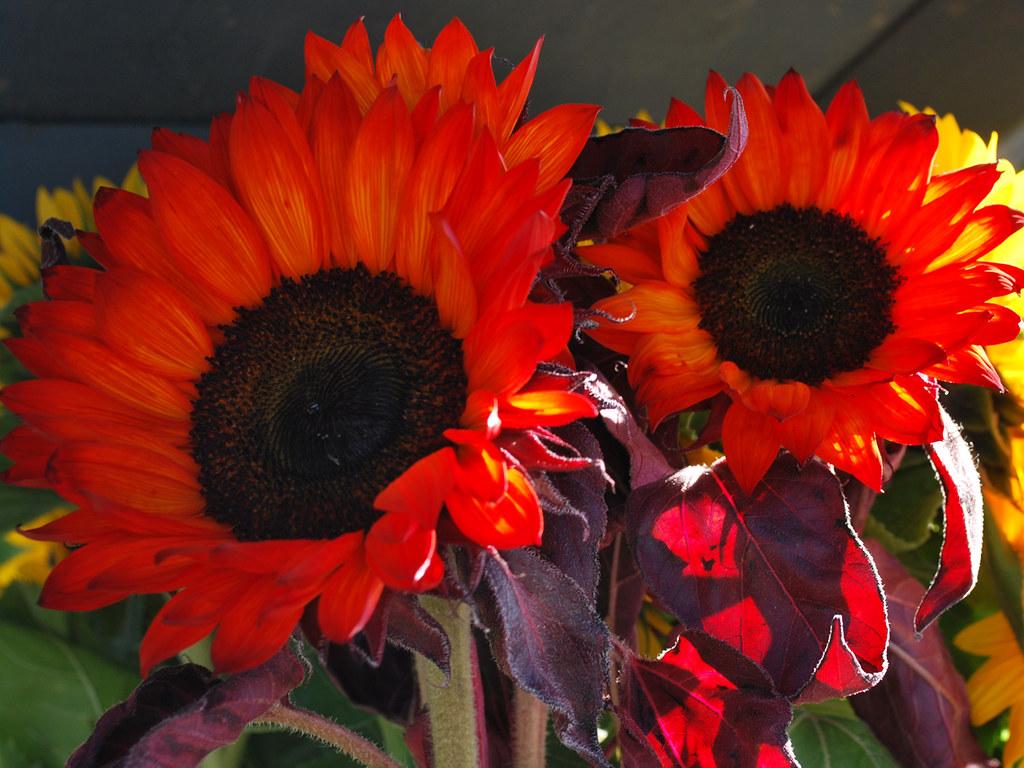 Red Sunflower Bush | Background for slides. Summer theme ...