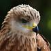 Wüstenbussard / Harri's hawk