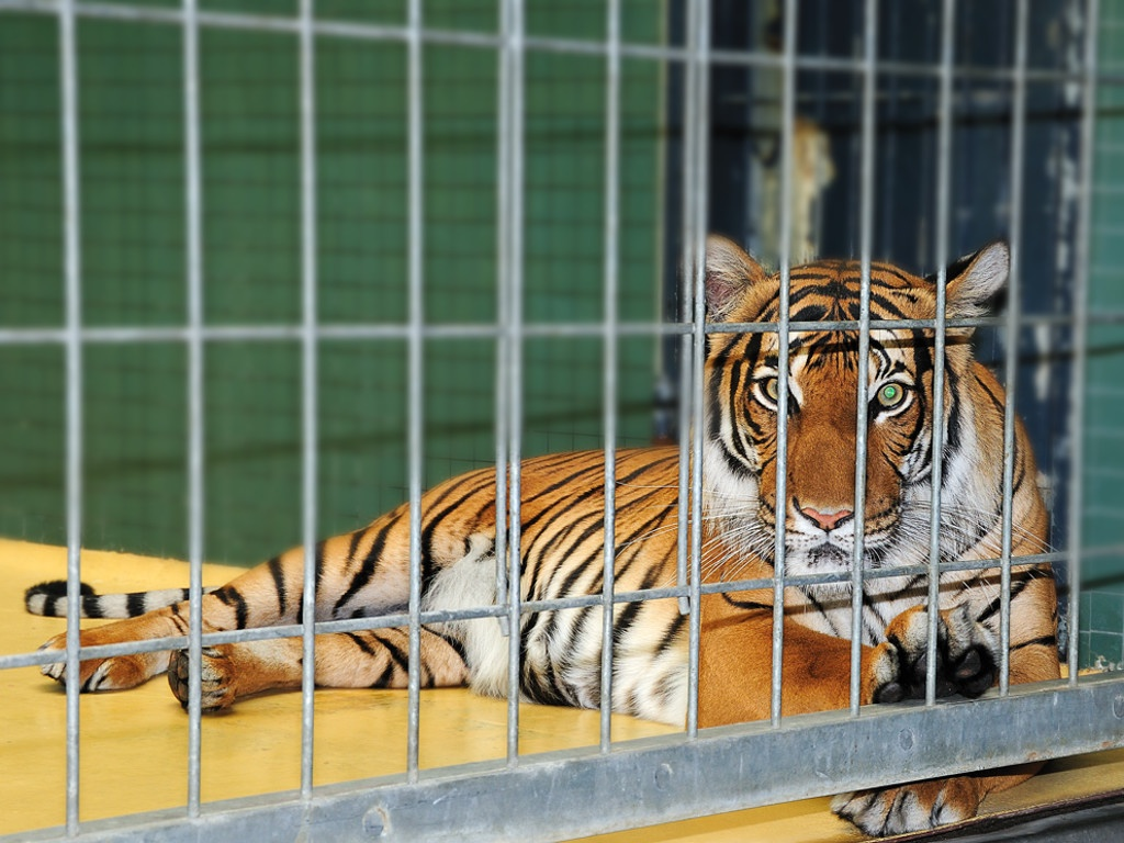 Tiger in cage at berlin zoo pedro dias flickr - Tiger in cage images ...