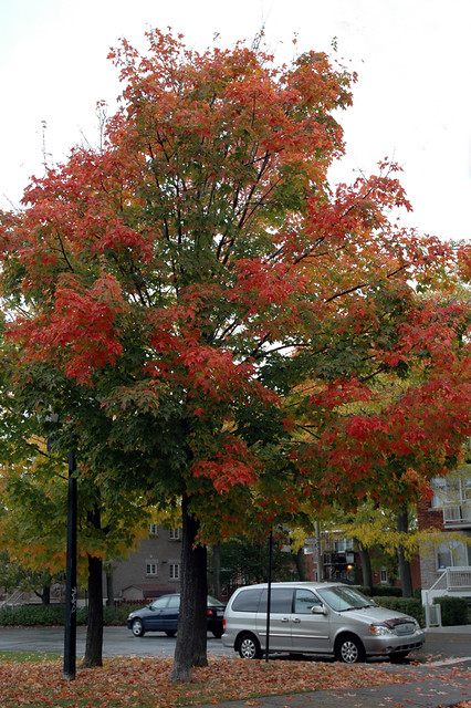 red tip maple  tree   house  thought   flickr