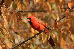 Nov 13 07 Cardinal | by Indiana Ivy Nature Photographer