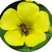 Escaravelho // Beetle (Chasmatopterus villosulus)