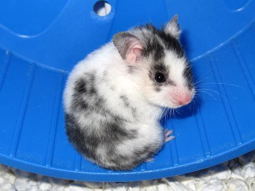 Willa The World S Cutest Hamster Willa Was Up For