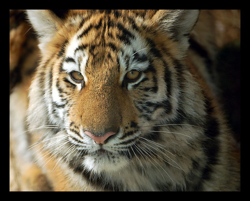 Tiger Cub At  8 Months Old | by digitalART2