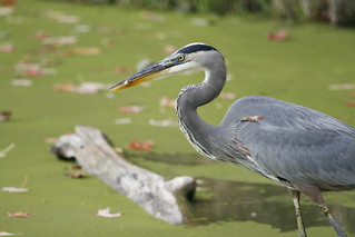 Great Blue Heron - with Fish ! | by Michael Zahra
