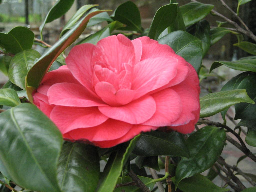 Ristorante vecchio podere gardenia gardenia rossa - Gardenia pianta da giardino ...