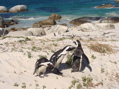 Simon's Town Penguin Colony | by KessaW