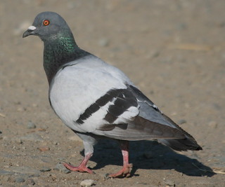 Rock Pigeon-IMG_5289-Campbell-crop | by gimlack