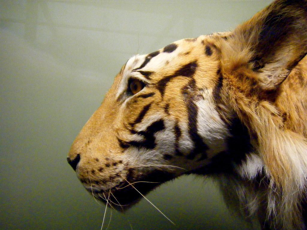 tiger profile amy palko flickr. Black Bedroom Furniture Sets. Home Design Ideas