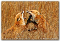 Sweet Nothings....  Red Foxes @ Bombay Hook NWR, DE (10 of 9) | by Nikographer [Jon]