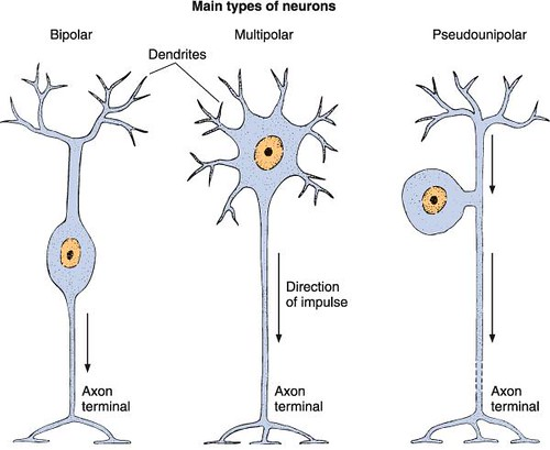 types of neurons | Observe pseudounipolar neuron with a sing… | Flickr