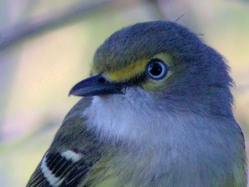 White-eyed Vireo close 08-20170215