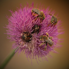 Texas thistle and some bees and some beetles | by Jilroy Frosting Psmith