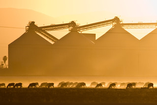 Sheep Grazing in Front of Silos | by Stewart