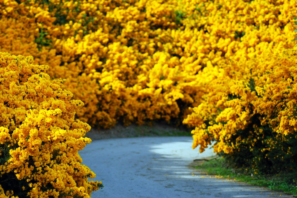 Yellow Furze Road Blainroe Co Wicklow Called Whin In