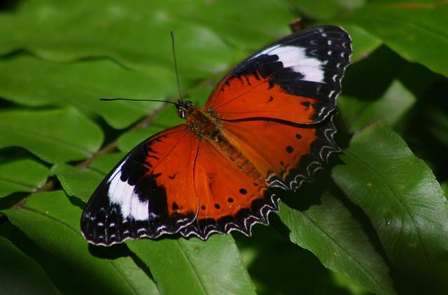 Ulysses Butterfly Butterflies of Kuranda...