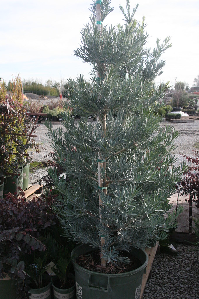 Icee Blue 174 Yellow Wood Podocarpus Elongatus Monmal