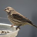 Purple Finch (female)