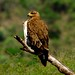 African Eagle thing.....