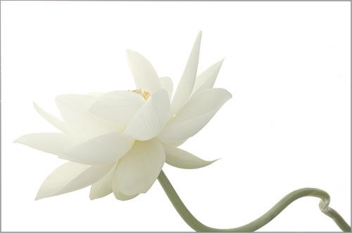 White Lotus Flower Imgp5950 White Lotus Flower And