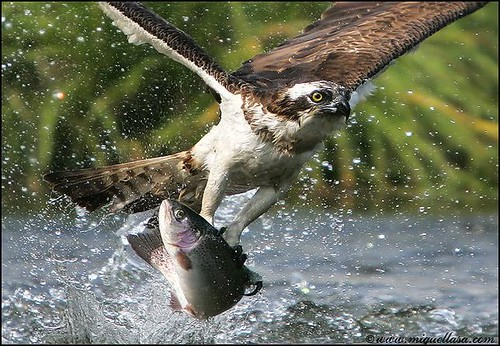 Hawk (osprey) claims salmon: Anothers photo 4. | by mikescottnz