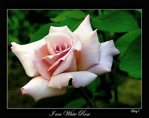 I am White Rose | by baby7