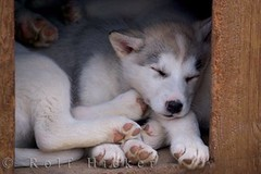 cute puppy dog sleeping | by Rolf Hicker Photography