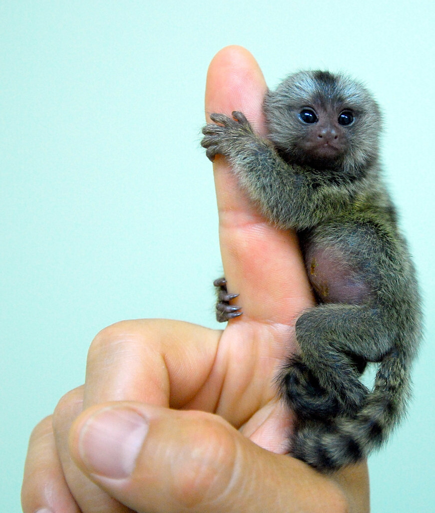 Marmoset Babies For Sale Baby Marmoset | by