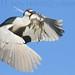 Black-Crowned Night Heron Carrying Stick