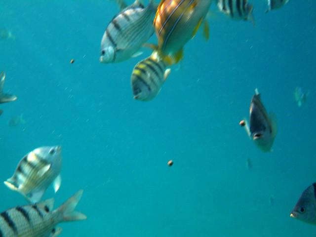 Tropical fish near electric beach oahu hawaii flickr for Tropic fish hawaii