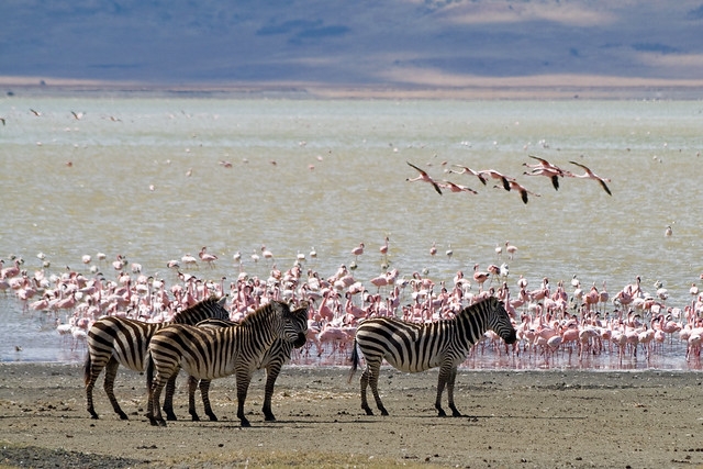 Zebras and flamingos of the African Garden of Eden in the Ngorongoro Crater