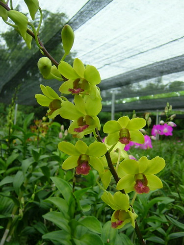 Dendrobium Burana Jade Yellow Chao Praya Orchid Flickr