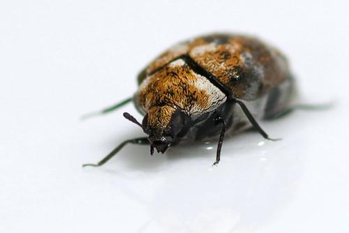 Photo of Varied carpet beetle (Anthrenus verbasci) on a white background.