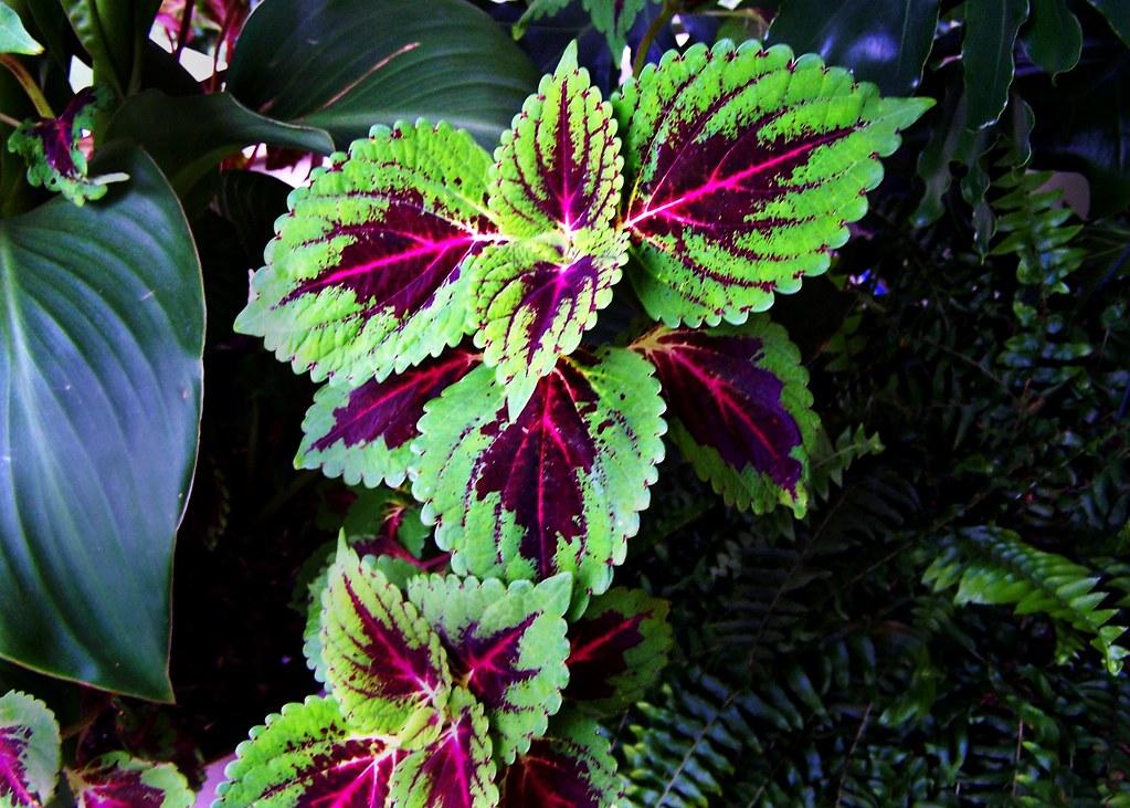 Lamiaceae : Solenostemon scutellarioides cultivar - Coleus… | Flickr