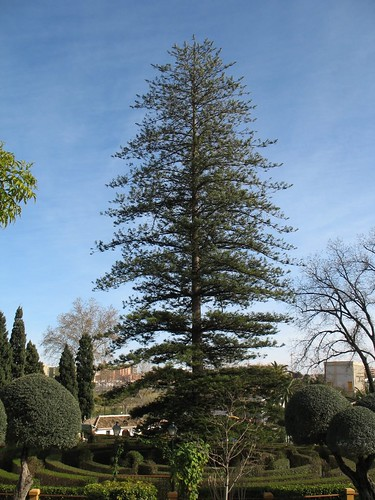 Large Norfolk Pine Tree This Is A Large Norfolk Pine